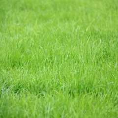 Парковая трава, семена для посадки. Воронеж магазин Квадрострой